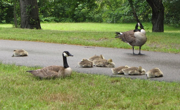 Goslings napping on a sidewalk in the Fenway. Photo by Stephanie Benedict