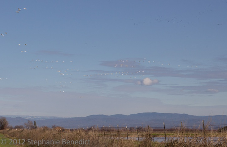Swans in the sky by Stephanie Benedict