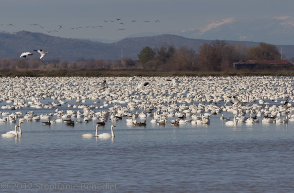 Snow Geese and Swans by Stephanie Benedict