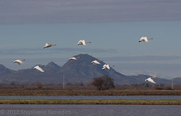 Tundra Swans and  Sutter Buttes ©2012 Stephanie Benedict