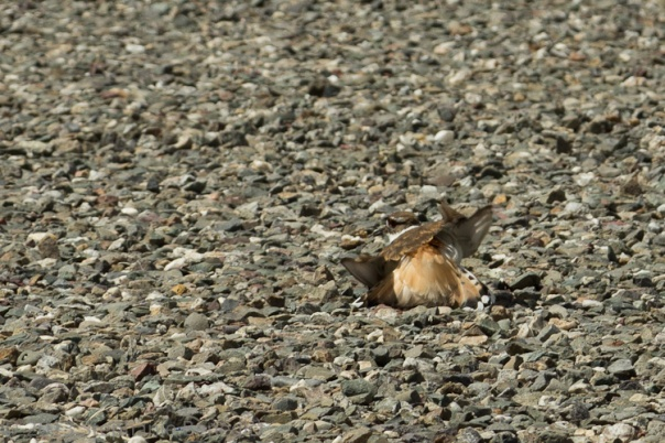 Killdeer feigning injury.