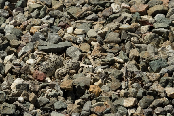 Four killdeer eggs in gravel