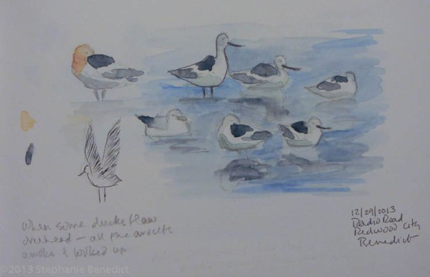 Avocets Napping, sketch by Stephanie Benedict